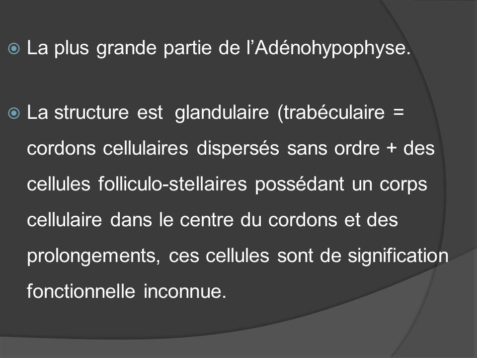 La plus grande partie de lAdénohypophyse. La structure est glandulaire (trabéculaire = cordons cellulaires dispersés sans ordre + des cellules follicu