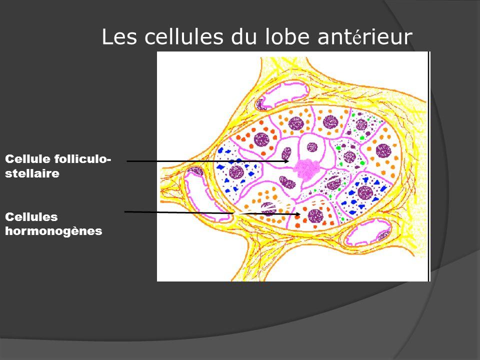 Les cellules du lobe ant é rieur Cellule folliculo- stellaire Cellules hormonogènes