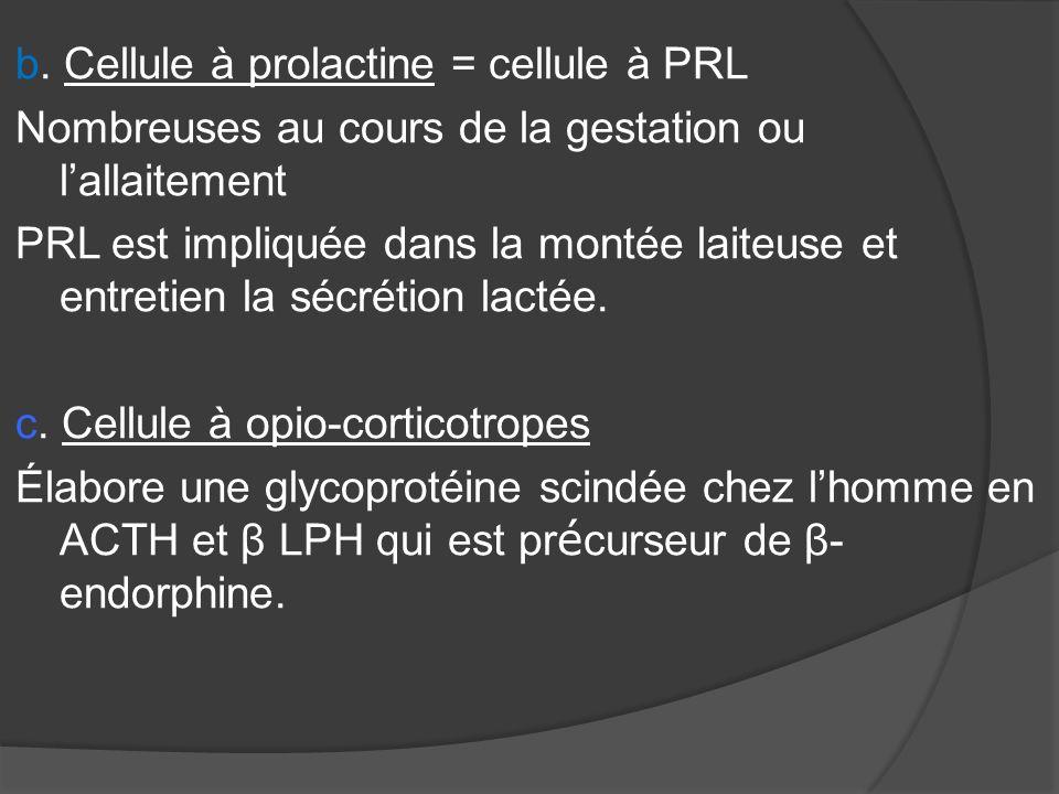 b. Cellule à prolactine = cellule à PRL Nombreuses au cours de la gestation ou lallaitement PRL est impliquée dans la montée laiteuse et entretien la