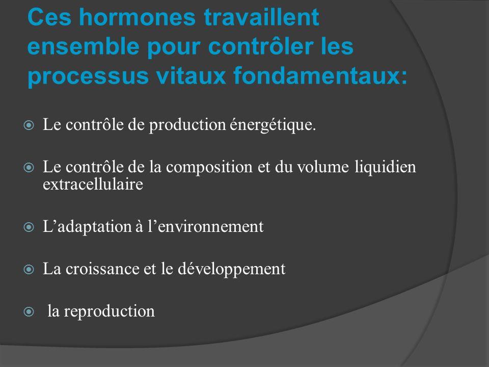 Ces hormones travaillent ensemble pour contrôler les processus vitaux fondamentaux: Le contrôle de production énergétique. Le contrôle de la compositi