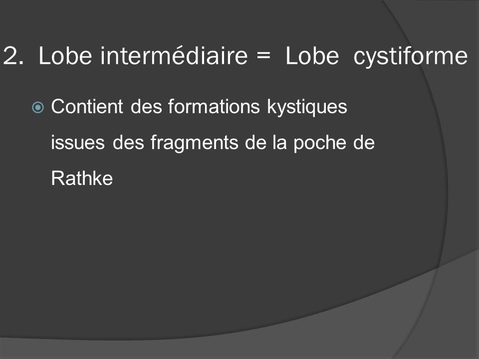 2. Lobe intermédiaire = Lobe cystiforme Contient des formations kystiques issues des fragments de la poche de Rathke