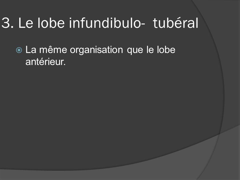 3. Le lobe infundibulo- tubéral La même organisation que le lobe antérieur.