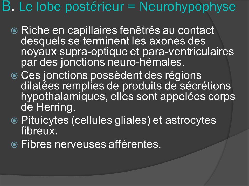 B. Le lobe postérieur = Neurohypophyse Riche en capillaires fenêtrés au contact desquels se terminent les axones des noyaux supra-optique et para-vent