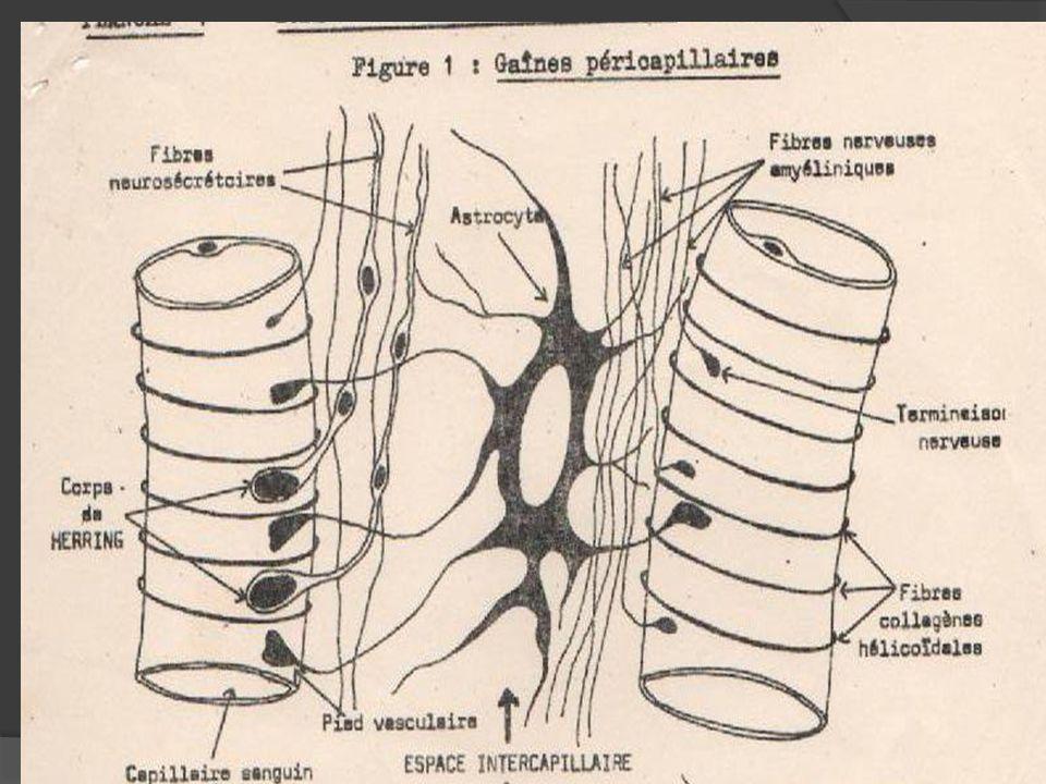 La vascularisation de l hypophyse est caract é ris é e par un r é seau porte, permettant à une veine issu d un groupe de capillaires de se ramifier de nouveau pour redonner des capillaires, permettant ainsi une redistribution locale des neurom é diateurs (hormones de lib é ration et d inhibition).