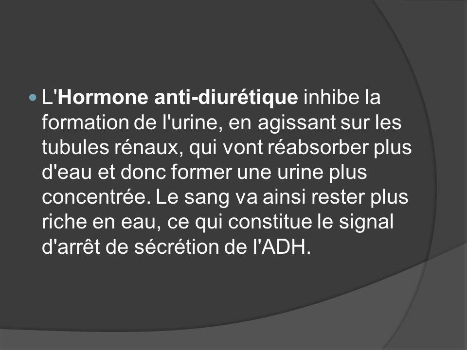 L'Hormone anti-diurétique inhibe la formation de l'urine, en agissant sur les tubules rénaux, qui vont réabsorber plus d'eau et donc former une urine