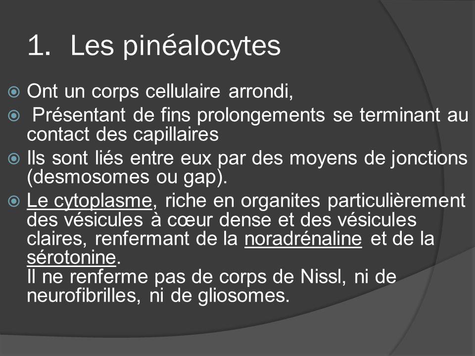 1.Les pinéalocytes Ont un corps cellulaire arrondi, Présentant de fins prolongements se terminant au contact des capillaires Ils sont liés entre eux p