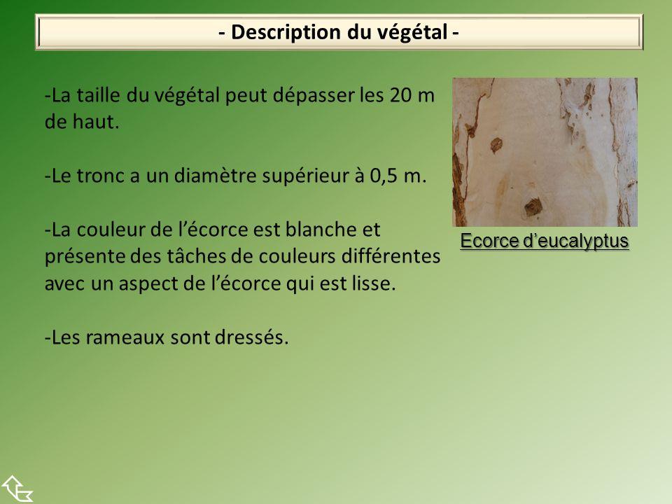 - Description du végétal - -La taille du végétal peut dépasser les 20 m de haut. -Le tronc a un diamètre supérieur à 0,5 m. -La couleur de lécorce est