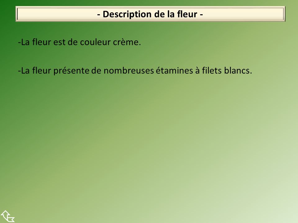 -La fleur est de couleur crème.-La fleur présente de nombreuses étamines à filets blancs.