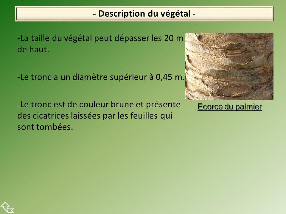-La taille du végétal peut dépasser les 20 m de haut. -Le tronc a un diamètre supérieur à 0,45 m. -Le tronc est de couleur brune et présente des cicat