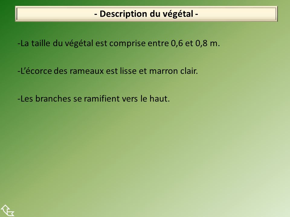 -La taille du végétal est comprise entre 0,6 et 0,8 m. -Lécorce des rameaux est lisse et marron clair. -Les branches se ramifient vers le haut. - Desc
