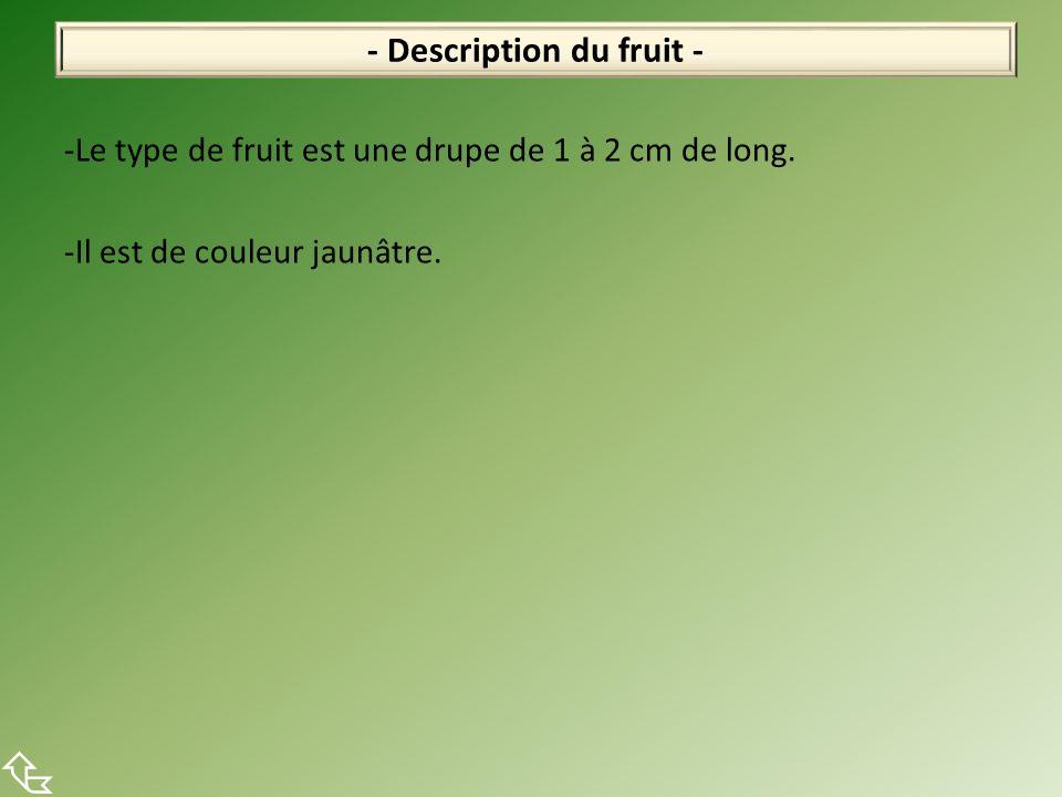 -Le type de fruit est une drupe de 1 à 2 cm de long. -Il est de couleur jaunâtre. - Description du fruit -