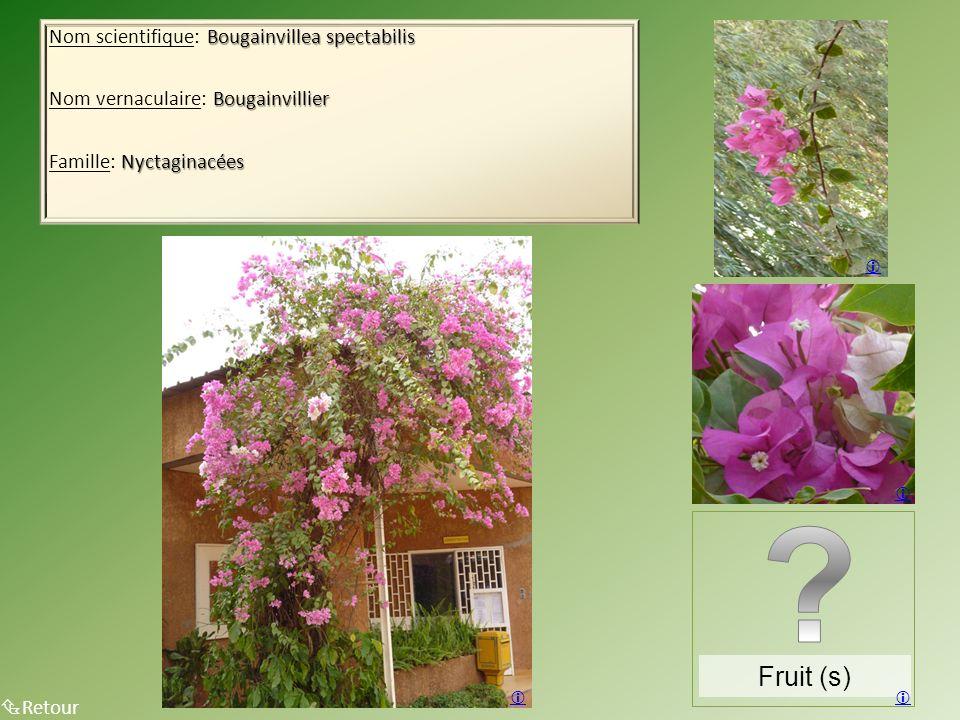 Bougainvillea spectabilis Nom scientifique: Bougainvillea spectabilis Bougainvillier Nom vernaculaire: Bougainvillier Nyctaginacées Famille: Nyctaginacées Retour Fruit (s)
