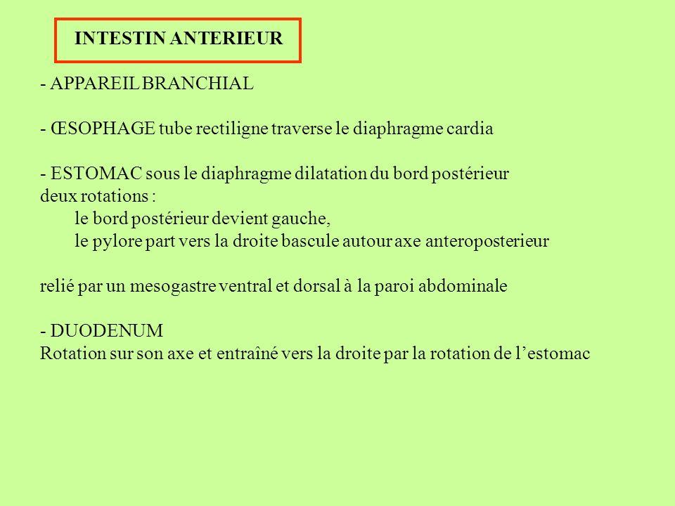 Cloaque: rencontre allantoïde tube digestif Fermé par membrane cloacale Latéralement : canal de Wolff bourgeon ureteral et métanephros