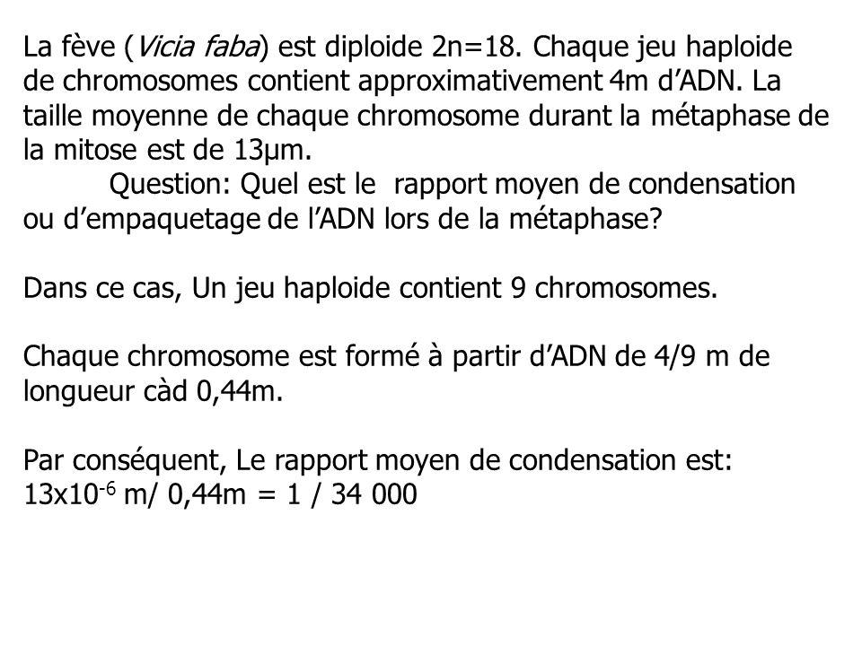 La fève (Vicia faba) est diploide 2n=18. Chaque jeu haploide de chromosomes contient approximativement 4m dADN. La taille moyenne de chaque chromosome