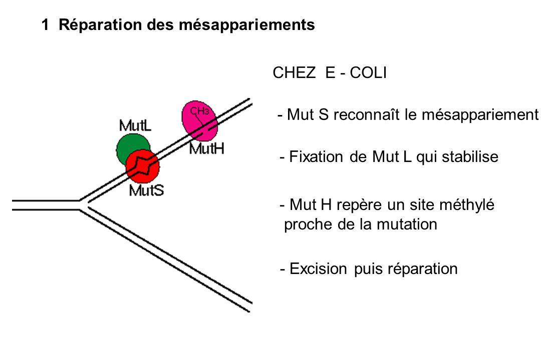 1 Réparation des mésappariements - Mut S reconnaît le mésappariement - Fixation de Mut L qui stabilise - Mut H repère un site méthylé proche de la mut