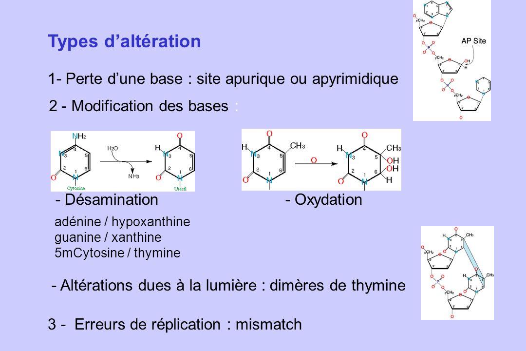 Types daltération 1- Perte dune base : site apurique ou apyrimidique 2 - Modification des bases : - Désamination- Oxydation - Altérations dues à la lu