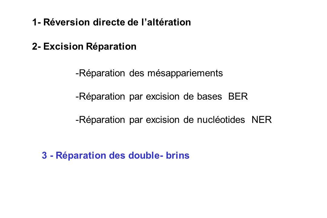 2- Excision Réparation -Réparation des mésappariements -Réparation par excision de bases BER -Réparation par excision de nucléotides NER 3 - Réparatio
