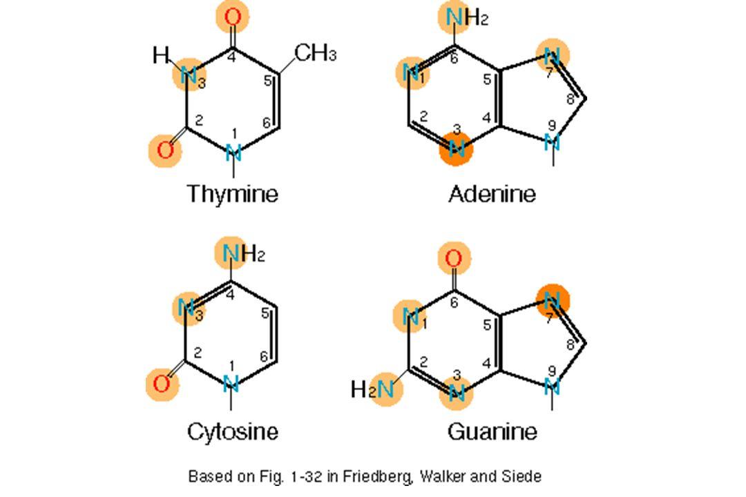 Types daltération 1- Perte dune base : site apurique ou apyrimidique 2 - Modification des bases : - Désamination- Oxydation - Altérations dues à la lumière : dimères de thymine 3 - Erreurs de réplication : mismatch dénine / hypoxanthine guanine / xanthine 5mCytosine / thymine