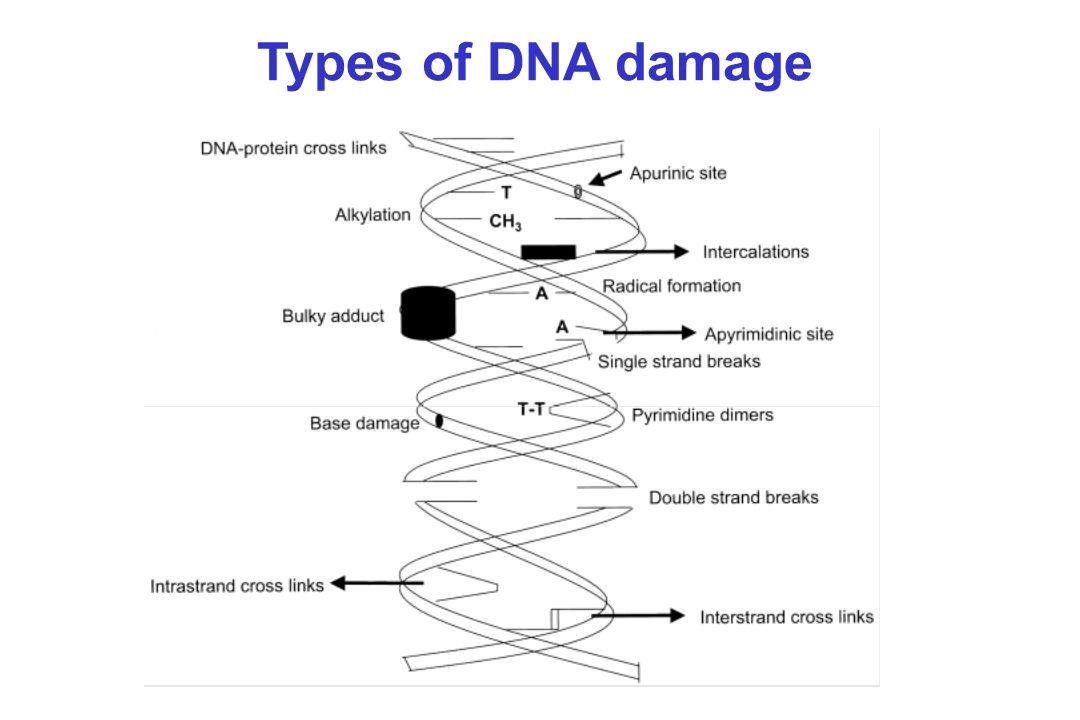 DIFFERENTS TYPES DE REPARATION 1- Réversion directe de laltération 2- Excision Réparation -Réparation des mésappariements MMR -Réparation par excision de bases BER -Réparation par excision de nucléotides NER 3 - Réparation des double- brins