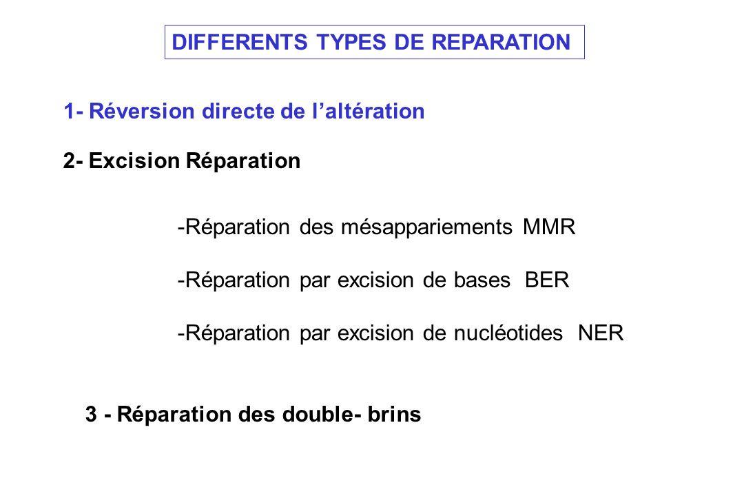 Types de réparation 1- Réversion directe de laltération - Dimères de pyrimidine : Action de la photolyase - Méthylation des guanines : action dune enzyme spécifique