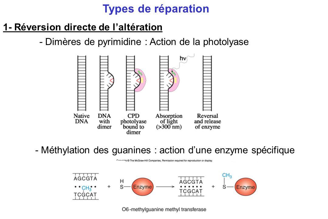 2- Excision / Réparation -Réparation des mésappariements -Réparation par excision de bases BER -Réparation par excision de nucléotides NER Types de réparation Principe : ADN double brin – les 2 brins contiennent la même information 1 seul brin endommagé excisé remplacé en utilisant le brin intact comme matrice