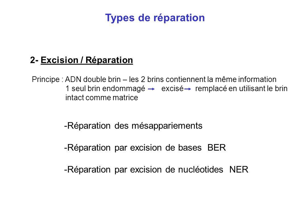 2- Excision / Réparation -Réparation des mésappariements -Réparation par excision de bases BER -Réparation par excision de nucléotides NER Types de ré