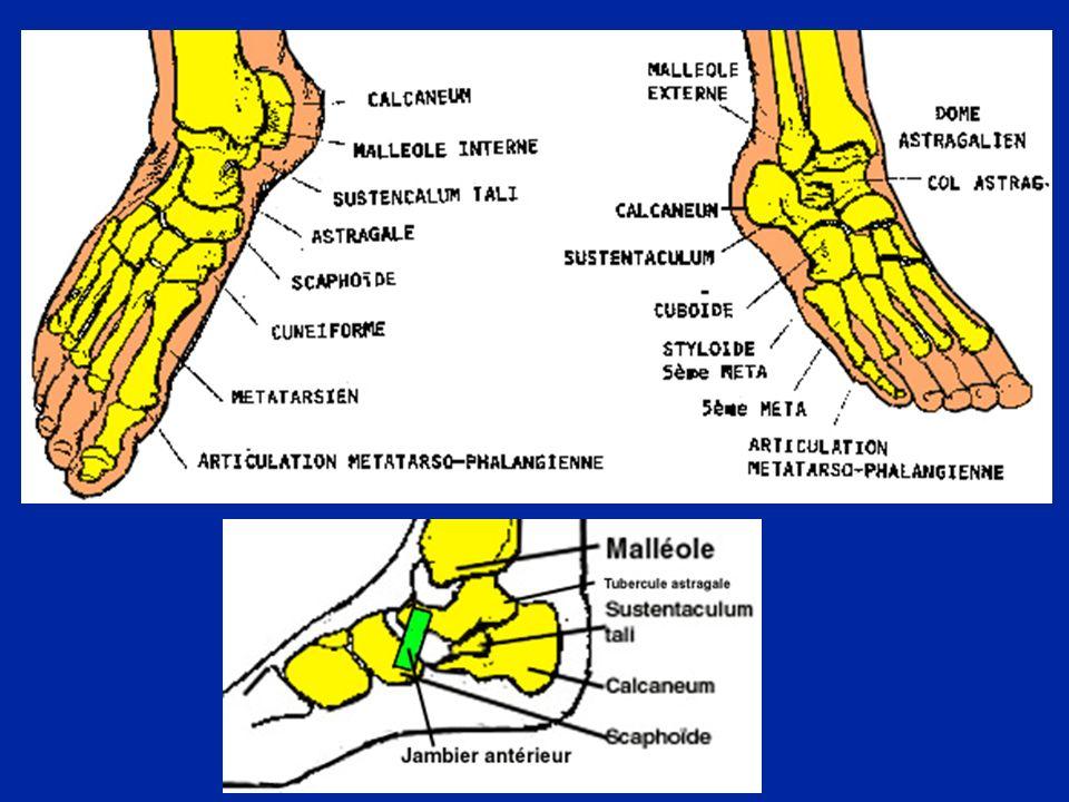 Léquilibre du pied et de la cheville est dicté par lintégrité des muscles