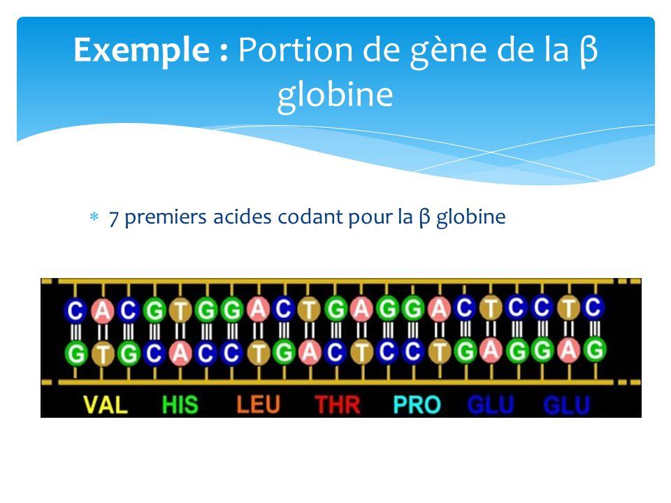 7 premiers acides codant pour la β globine Exemple : Portion de gène de la β globine