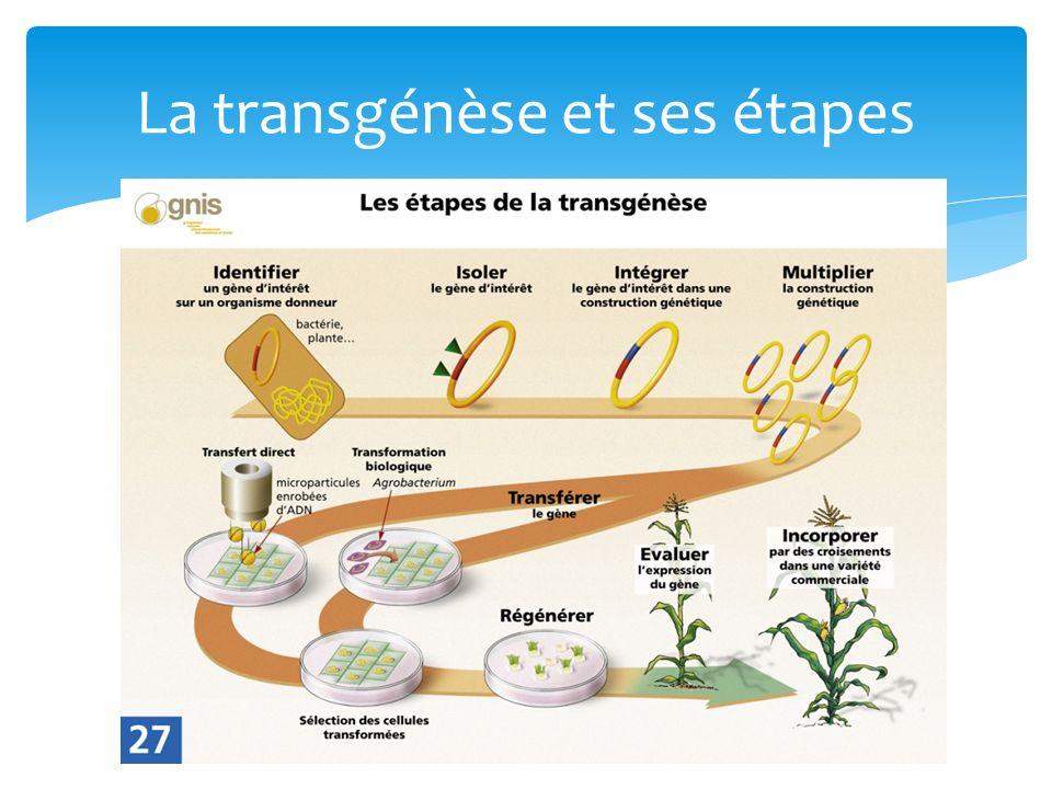 La transgénèse et ses étapes