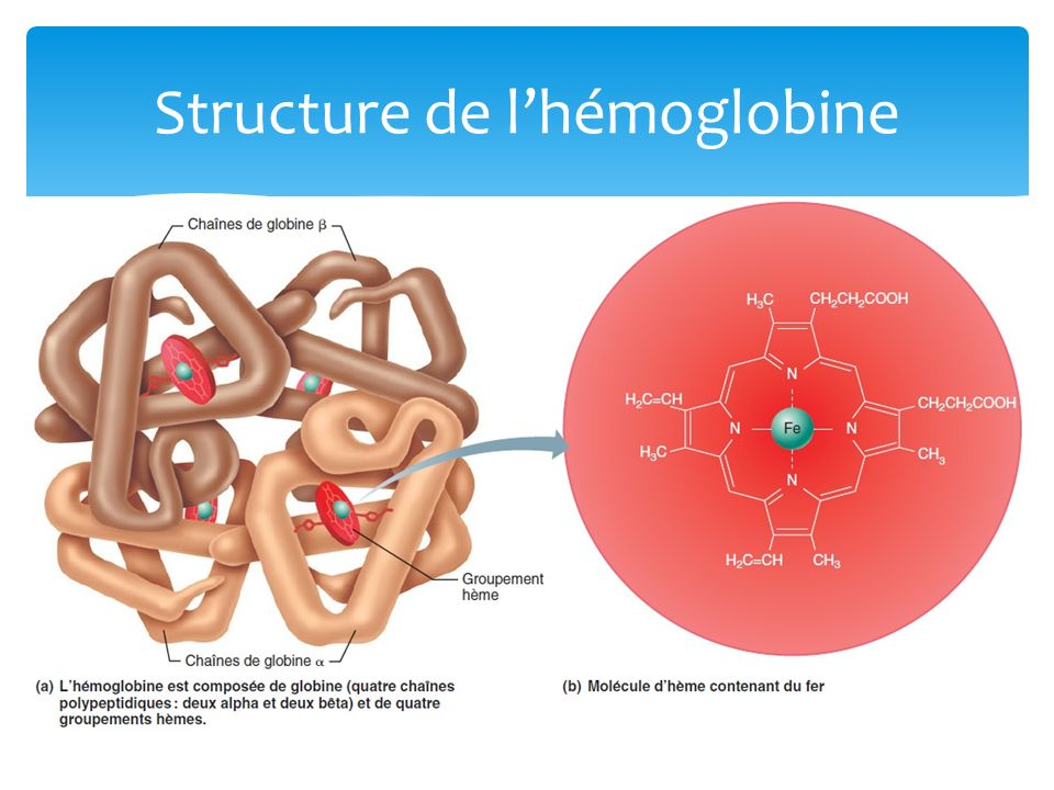 Structure de lhémoglobine