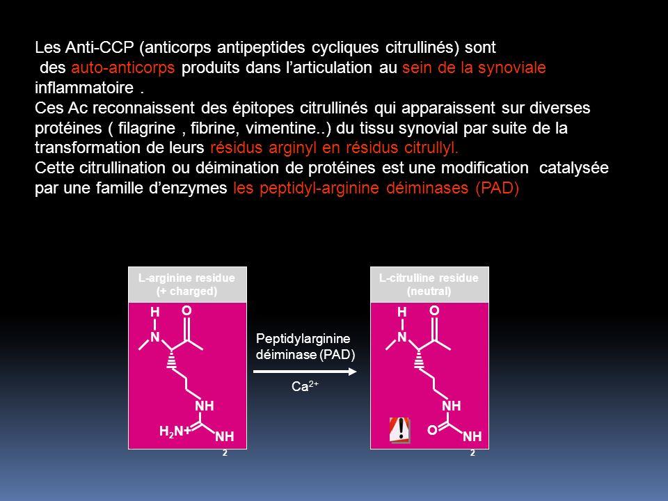 Les Anti-CCP (anticorps antipeptides cycliques citrullinés) sont des auto-anticorps produits dans larticulation au sein de la synoviale inflammatoire.