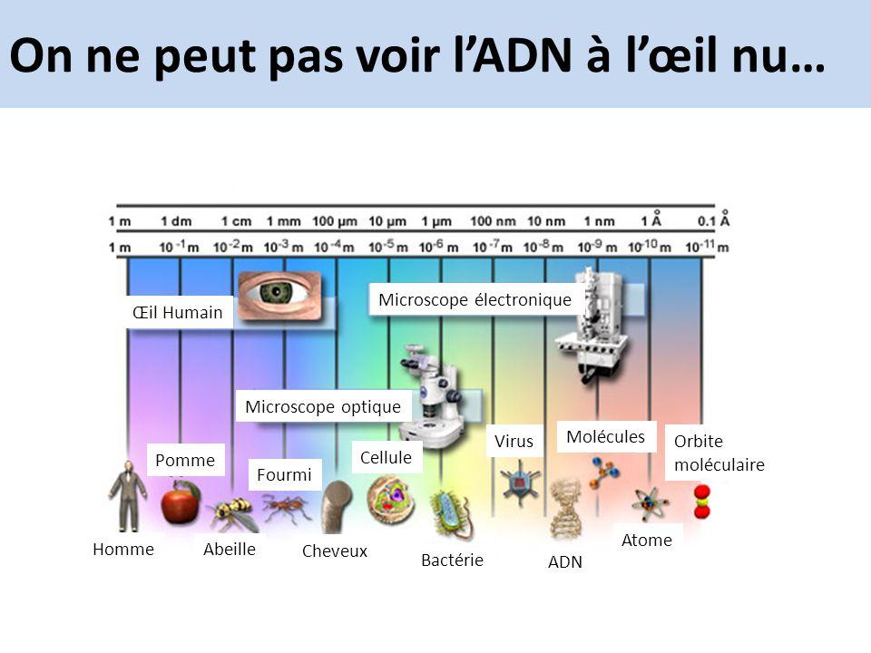 On ne peut pas voir lADN à lœil nu… Microscope électronique Œil Humain Microscope optique Homme Pomme Abeille Fourmi Cheveux Cellule Bactérie Virus AD
