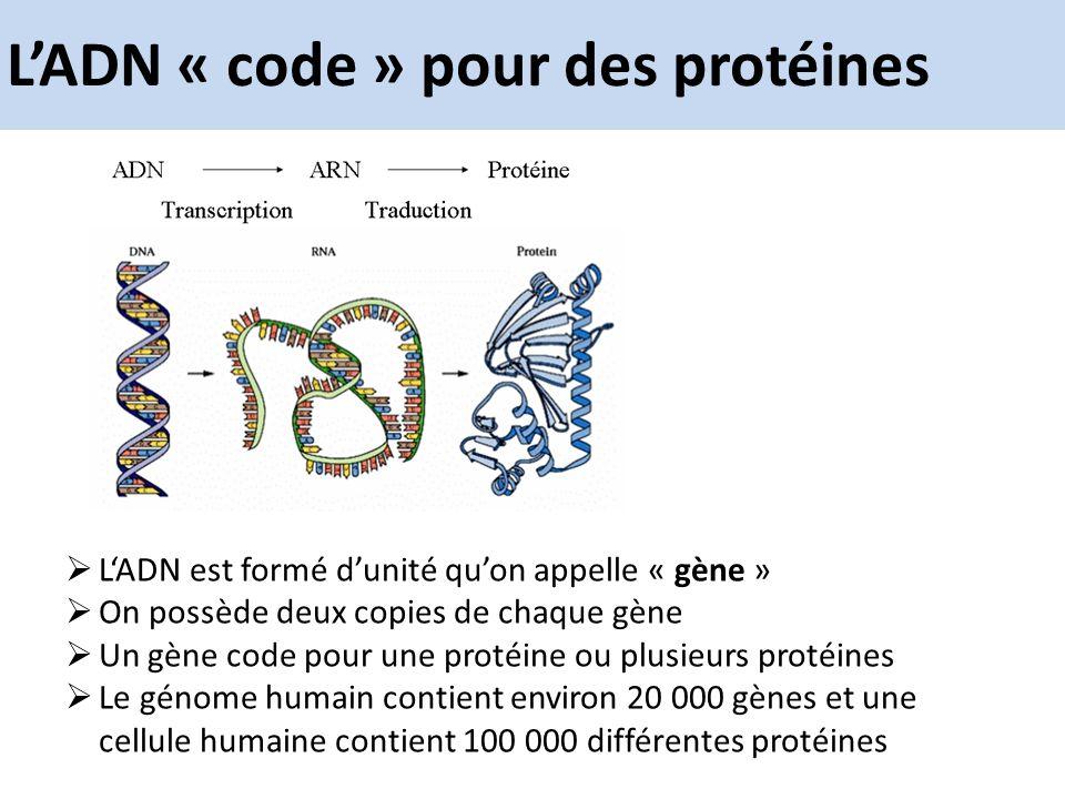 LADN « code » pour des protéines LADN est formé dunité quon appelle « gène » On possède deux copies de chaque gène Un gène code pour une protéine ou p