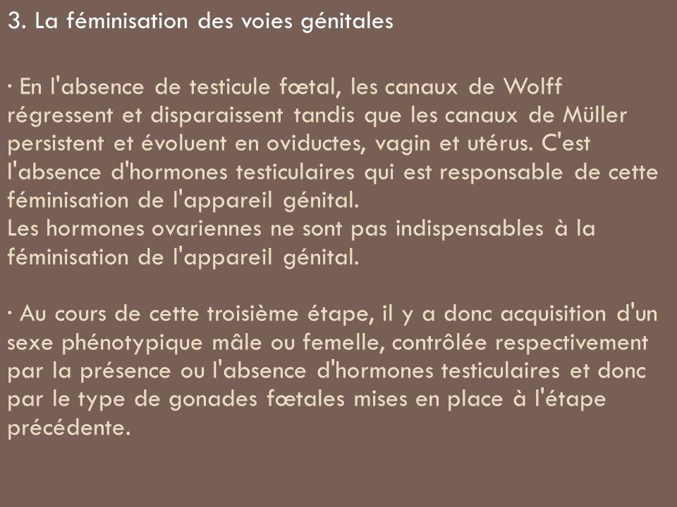 · En l'absence de testicule fœtal, les canaux de Wolff régressent et disparaissent tandis que les canaux de Müller persistent et évoluent en oviductes