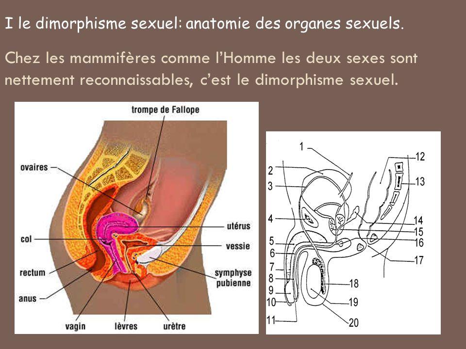 Chez les mammifères comme lHomme les deux sexes sont nettement reconnaissables, cest le dimorphisme sexuel. I le dimorphisme sexuel: anatomie des orga