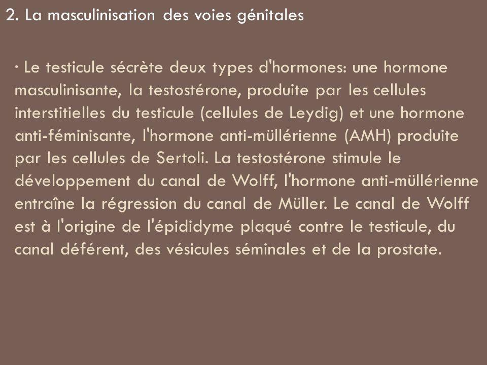 · Le testicule sécrète deux types d'hormones: une hormone masculinisante, la testostérone, produite par les cellules interstitielles du testicule (cel