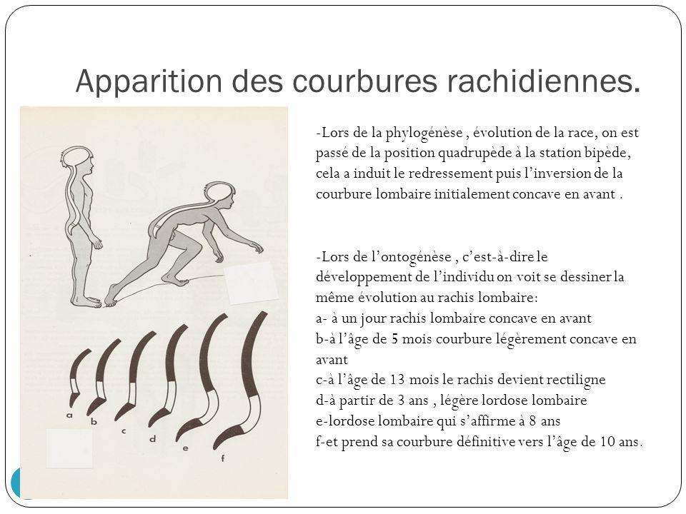 Apparition des courbures rachidiennes. 8 -Lors de lontogénèse, cest-à-dire le développement de lindividu on voit se dessiner la même évolution au rach