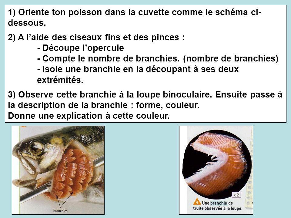 1) Oriente ton poisson dans la cuvette comme le schéma ci- dessous. 2) A laide des ciseaux fins et des pinces : - Découpe lopercule - Compte le nombre
