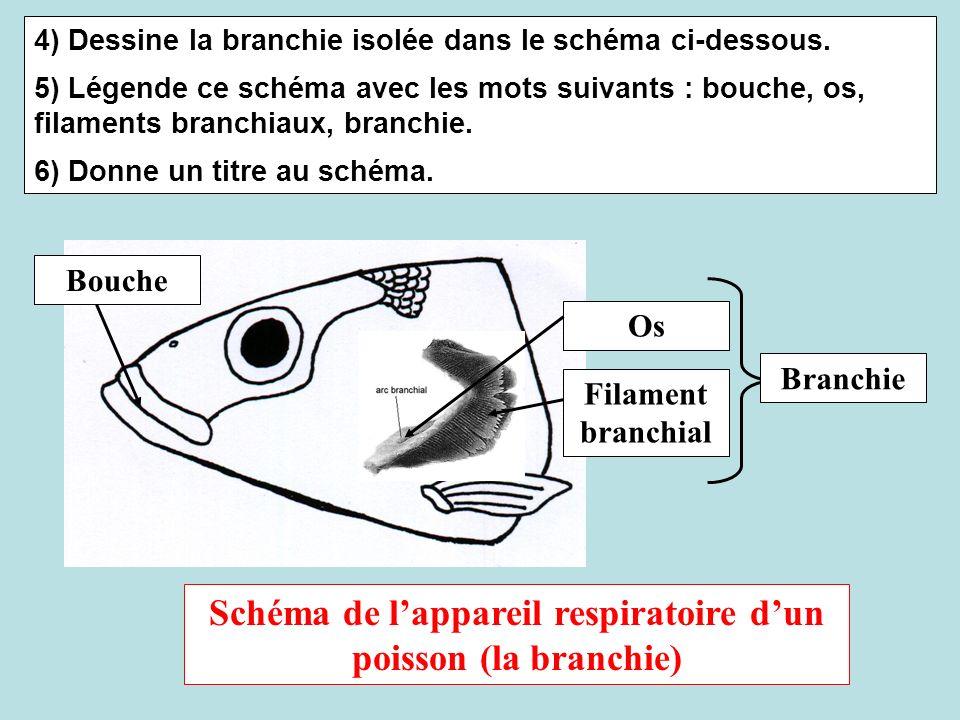 4) Dessine la branchie isolée dans le schéma ci-dessous. 5) Légende ce schéma avec les mots suivants : bouche, os, filaments branchiaux, branchie. 6)