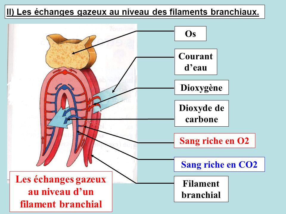 Os Courant deau Sang riche en O2 Sang riche en CO2 Dioxygène Dioxyde de carbone Filament branchial Les échanges gazeux au niveau dun filament branchia