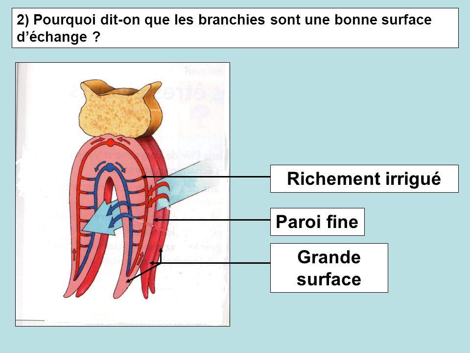 2) Pourquoi dit-on que les branchies sont une bonne surface déchange ? Richement irrigué Paroi fine Grande surface