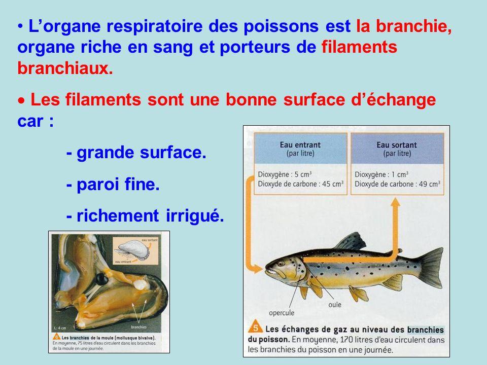 Lorgane respiratoire des poissons est la branchie, organe riche en sang et porteurs de filaments branchiaux. Les filaments sont une bonne surface déch