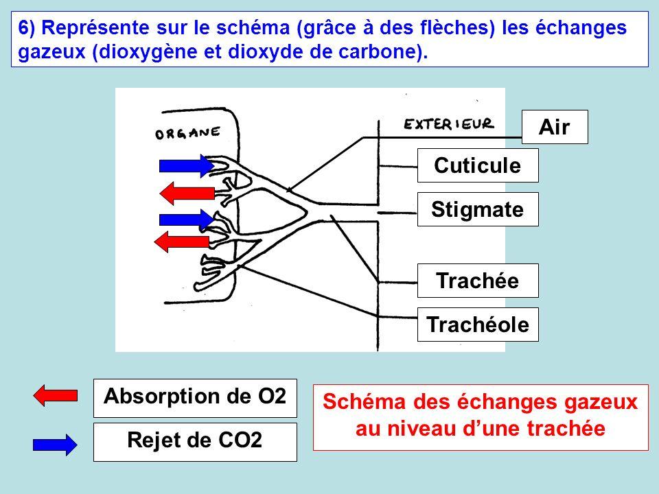 6) Représente sur le schéma (grâce à des flèches) les échanges gazeux (dioxygène et dioxyde de carbone). Air Cuticule Stigmate Trachée Trachéole Absor
