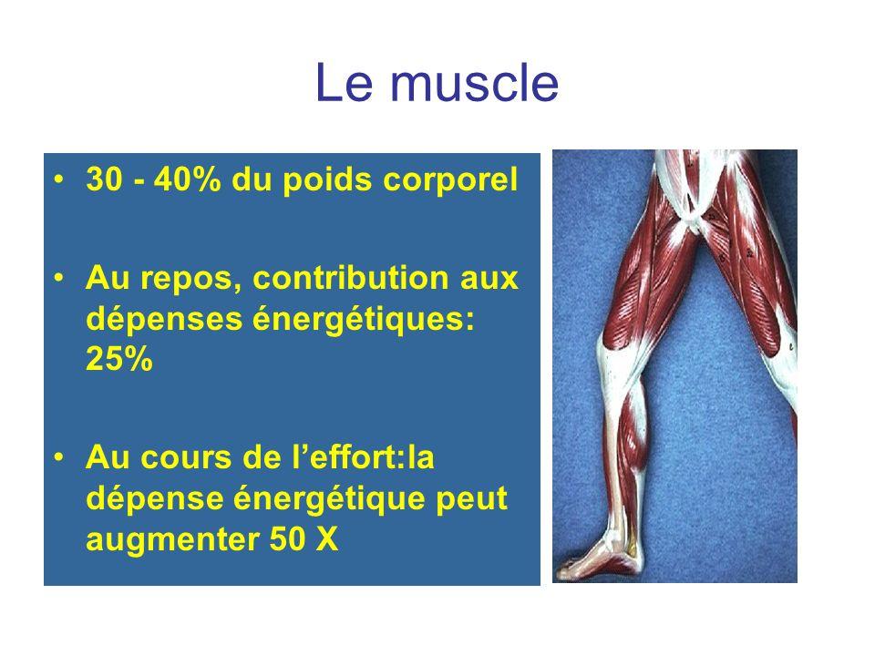 Le muscle 30 - 40% du poids corporel Au repos, contribution aux dépenses énergétiques: 25% Au cours de leffort:la dépense énergétique peut augmenter 50 X