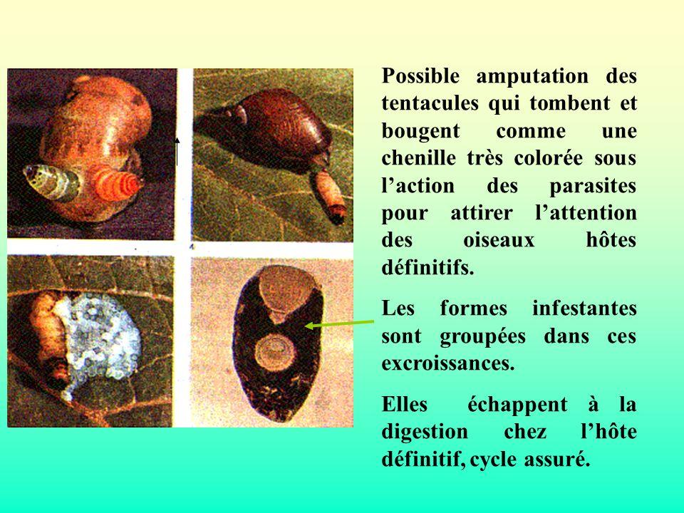 Possible amputation des tentacules qui tombent et bougent comme une chenille très colorée sous laction des parasites pour attirer lattention des oisea
