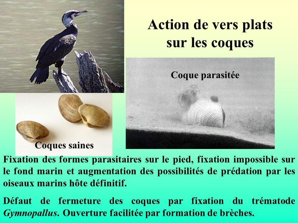 Action de vers plats sur les coques Fixation des formes parasitaires sur le pied, fixation impossible sur le fond marin et augmentation des possibilit