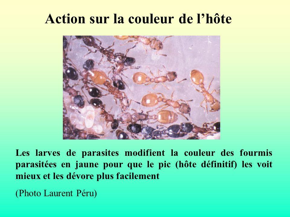 Action sur la couleur de lhôte Les larves de parasites modifient la couleur des fourmis parasitées en jaune pour que le pic (hôte définitif) les voit