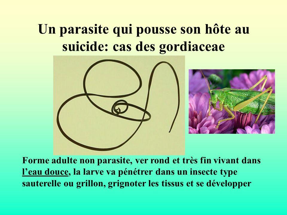 Un parasite qui pousse son hôte au suicide: cas des gordiaceae Forme adulte non parasite, ver rond et très fin vivant dans leau douce, la larve va pén