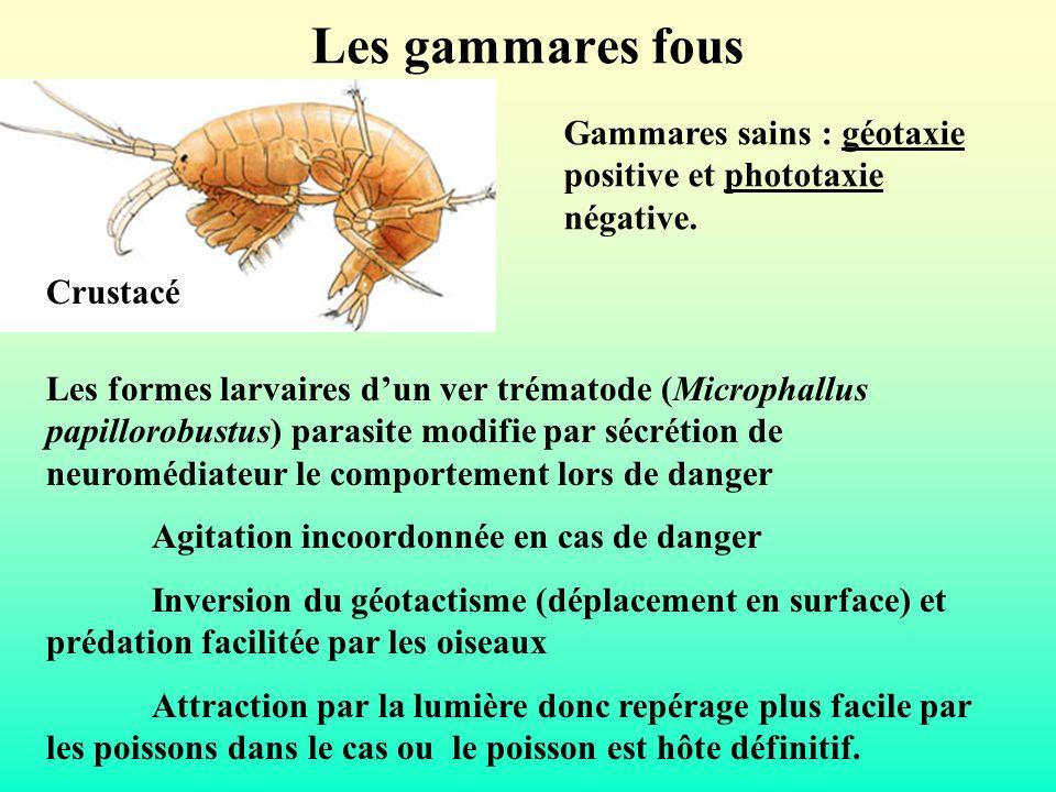 Les gammares fous Crustacé Les formes larvaires dun ver trématode (Microphallus papillorobustus) parasite modifie par sécrétion de neuromédiateur le c