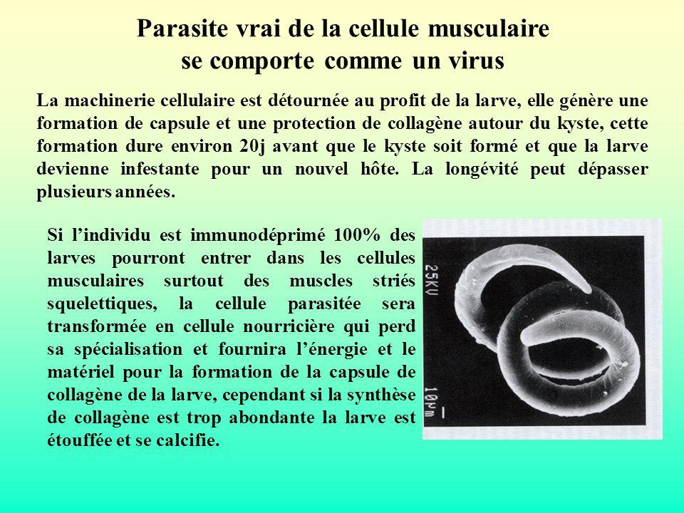 Parasite vrai de la cellule musculaire se comporte comme un virus La machinerie cellulaire est détournée au profit de la larve, elle génère une format
